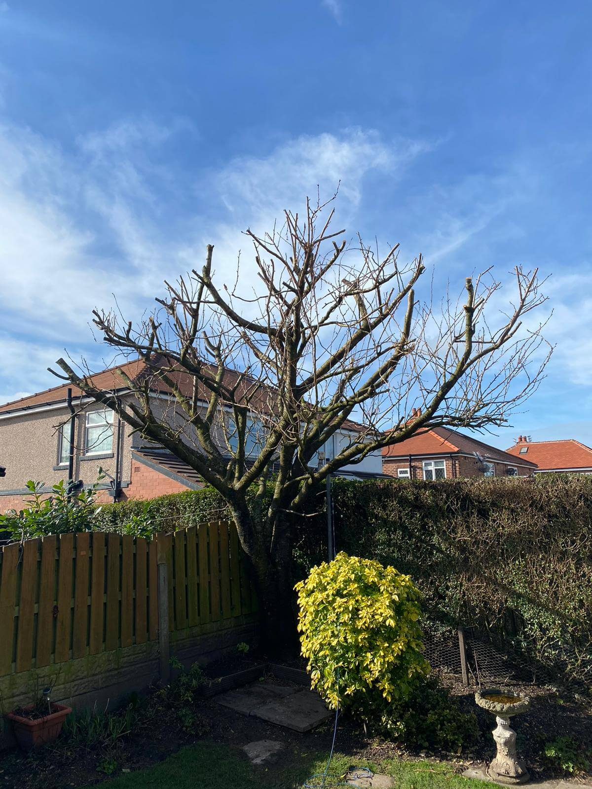 Cherry Tree Pruned After