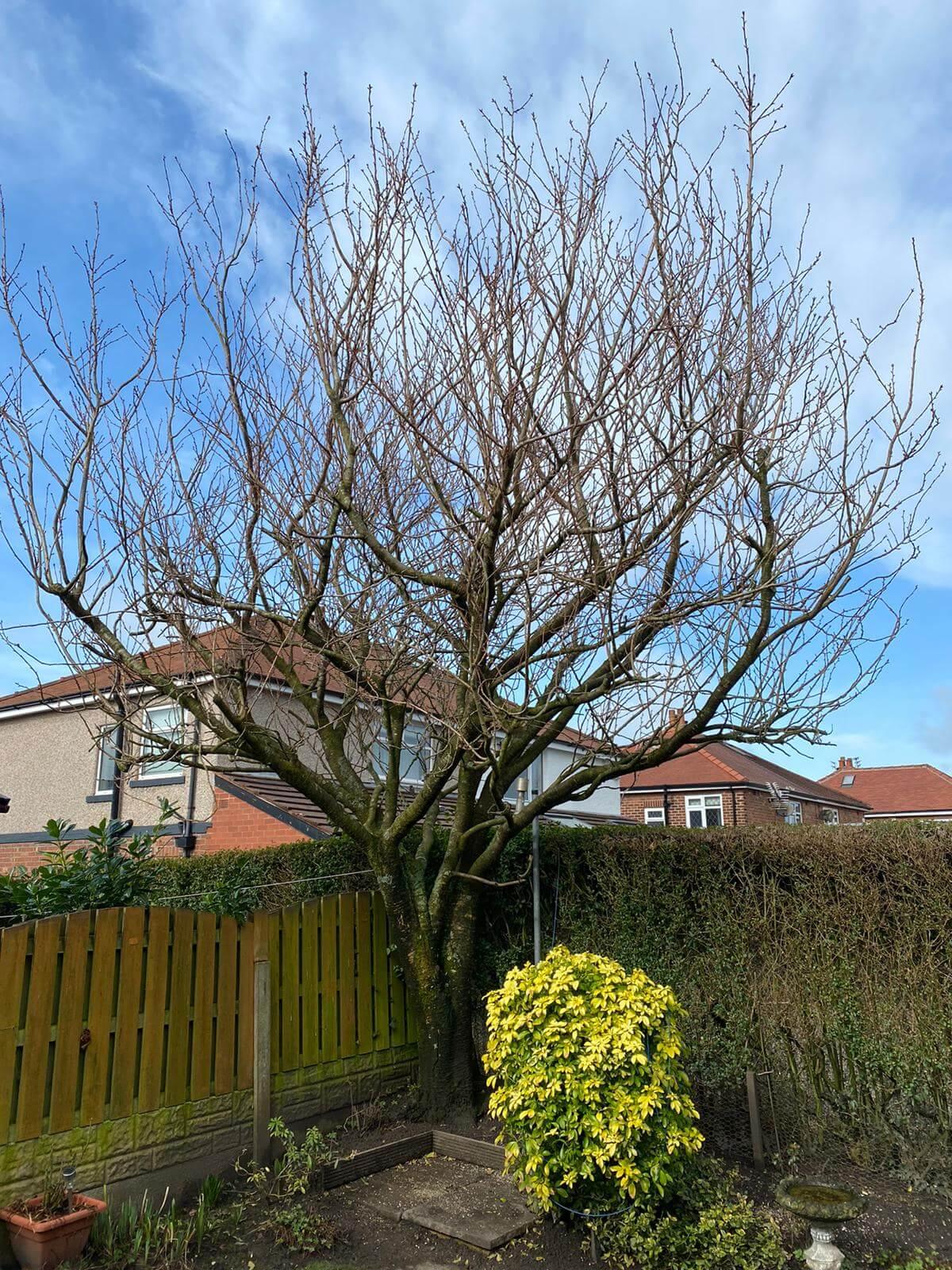 Cherry Tree Pruned